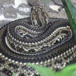 Cascavel-Crotalus-durissus