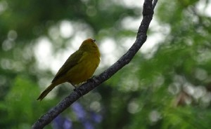 aves-do-cerrado-tocandira
